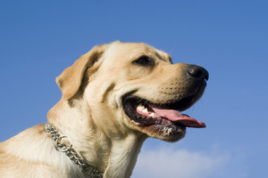 Labrador hat einen Schadensfall verursacht - Was tun?